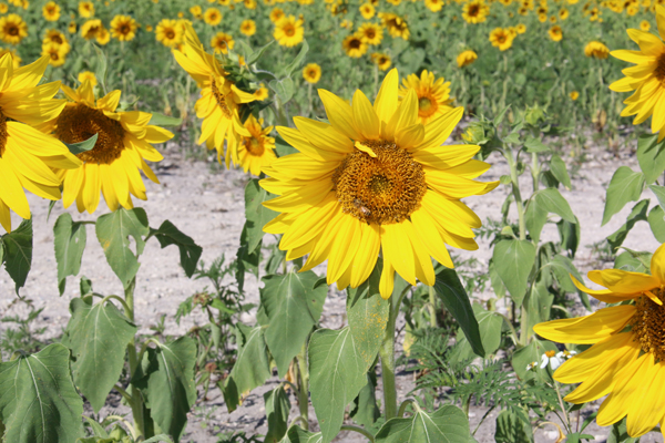 The Sunflowers Are In Bloom… But Not For Long!